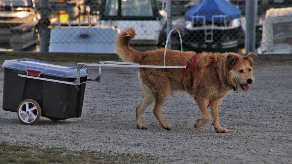 Dog pulling trailer
